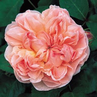 Form hoa hồng leo kiều tâm (evelyn english rose)