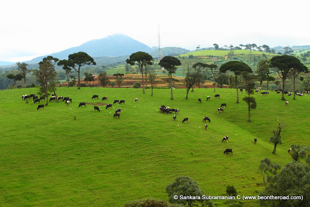 The lush green countryside that helps these cows produce some of their best milk n cheese