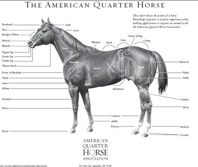 Historia del caballo cuarto de milla | CARRERAS VEINTICUATRO SIETE
