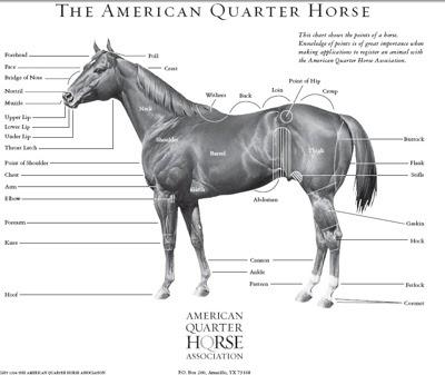 Historia del caballo cuarto de milla   CARRERAS VEINTICUATRO SIETE