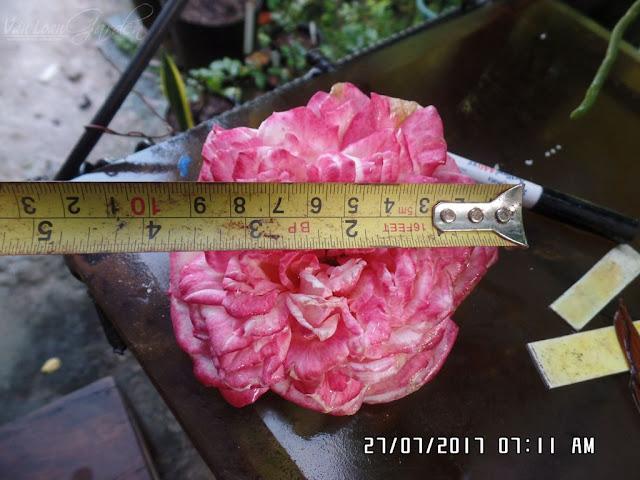 Khi trồng cây hồng ngoại Kordes Jubilee Rose trưởng thành, hoa có đường kính từ 9-11cm