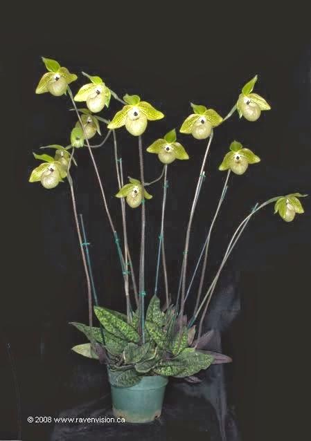 loài lan hài có hoa đẹp tao nhã với lá đài và cánh hoa xanh cốm, môi xám-xanh nhạt và nhị lép trắng với chóp màu nâu tía