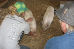 then we fed the pigs
