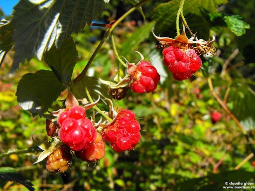fructe de pădure, fructe de munte: zmeură sălbatică
