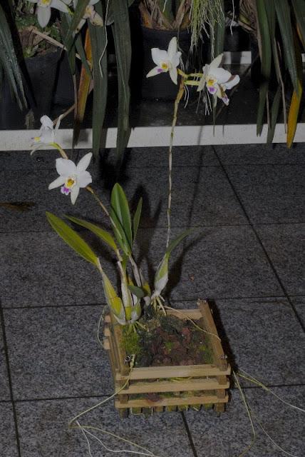 Растения из Тюмени. Краткий обзор - Страница 4 Laelia%252520anceps%252520var.%252520sanderiana%2525205