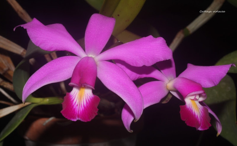 Cattleya violacea  IMG_1392b%2520%2528Medium%2529