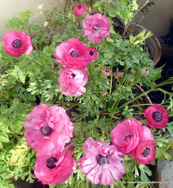 Ranunculus corm flower