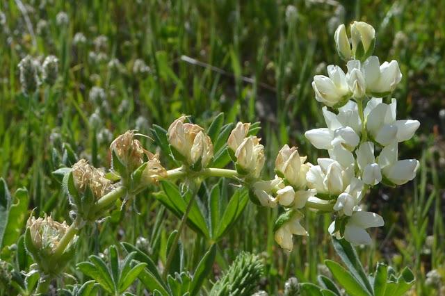 white flowering lupin