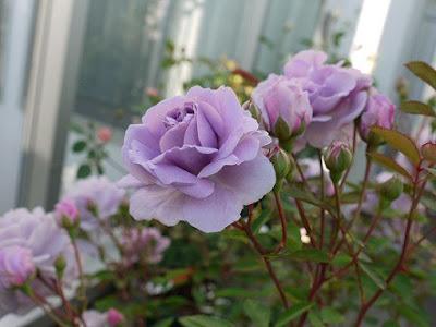 Hồng Rainy Blue luôn cho hoa thành từng chùm với rất nhiều hoa