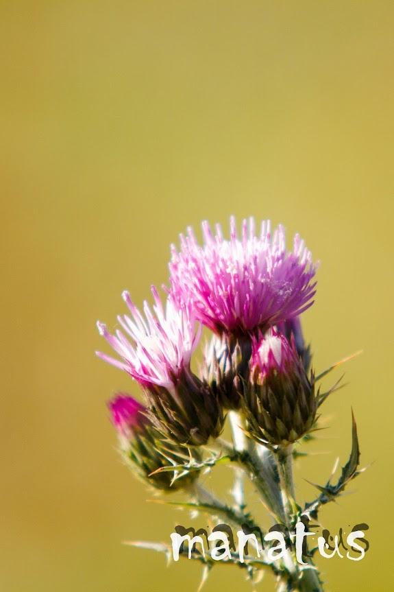 manatus foto blog flor de cardo