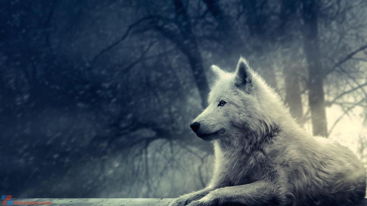 Bộ ảnh nghệ thuật về Chó Sói - iZ Wallpapers