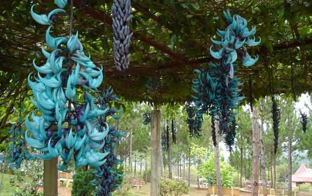 Hoa Móng Cọp quý hiếm - hoa mong cop xanh2