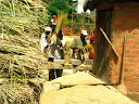 People are busy beating the rice stalks to knock the rice grains off the top onto the heap.