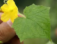 https://lh4.googleusercontent.com/-0pc9HHtoQWI/T30imdEJ-VI/AAAAAAAAAxo/fCevAmP7P8Q/s1600/Cucumis-sativus-hardwickii-Mussoorie-Chakrata+Road+near+Kalsi-3.jpg