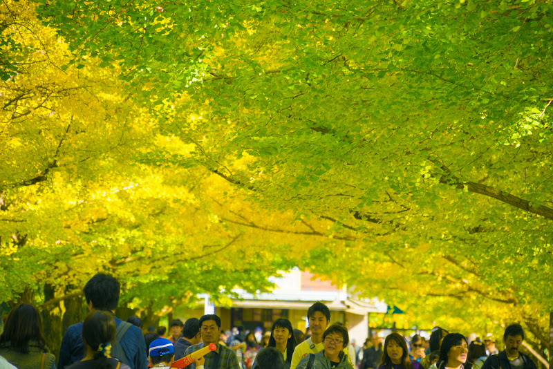 昭和記念公園 カナール イチョウ並木 写真2