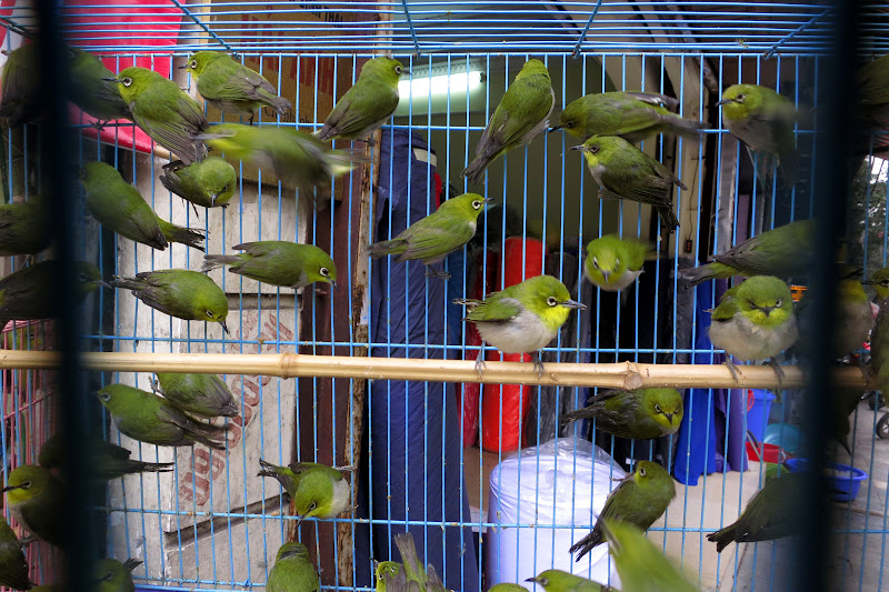Birds for sale, Old Quarter