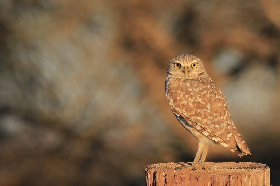Burrowing Owl by Ray Goodwin, www.sonoranconnection.com