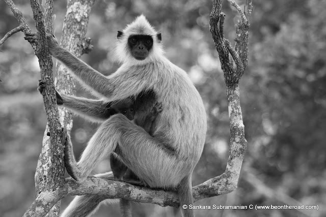 B&W of Grey Langur - Mother and Young one