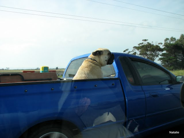 Dog riding in a car on a road  from Geelong to Melbourne, Australia - When I retire I will drive a caravan. Will I? - Go For Fun - Australian Travel and Activity Community - Inspire, Share, Enjoy!