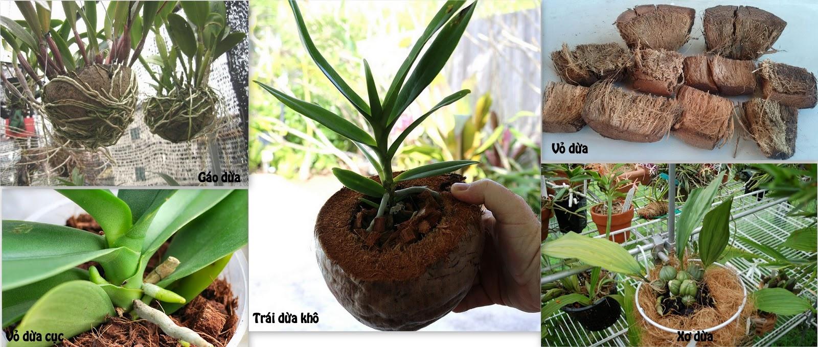 Quả dừa trồng lan