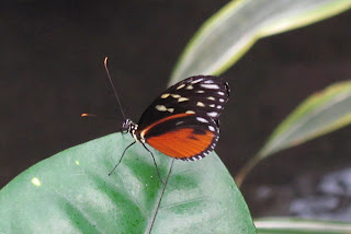 Orange and black butterfly at the Victoria Butterfly Gardens.