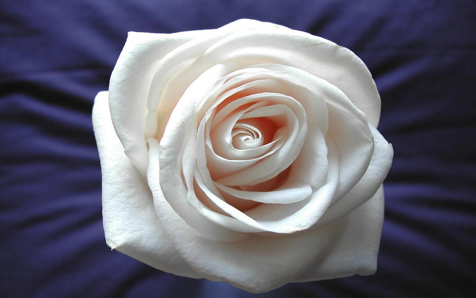 rozen desktop achtergronden