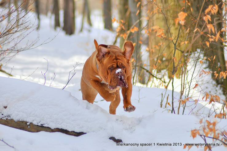 dogue de bordeaux w lesie