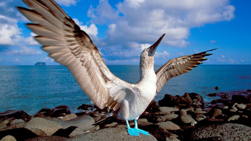 Blue-Footed Booby, Galapagos Islands, Ecuador.jpg
