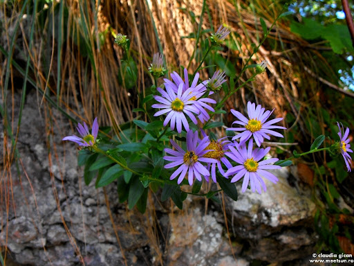 flori mov de munte
