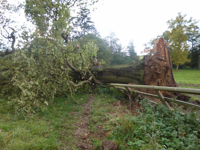 Fallen tree on path