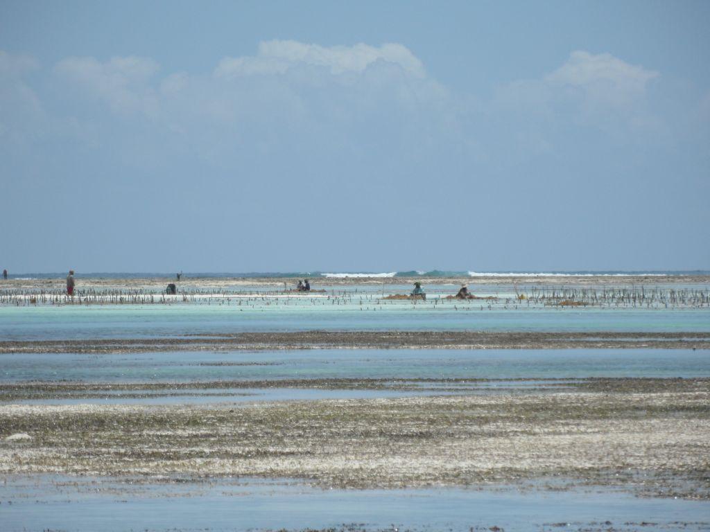 Zanzibar'ın deniz tarlalarında çalışanlar ve uzakta kırılan dalgalar