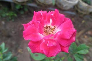 Form hoa hồng bụi Brilliant Pink Iceberg rose