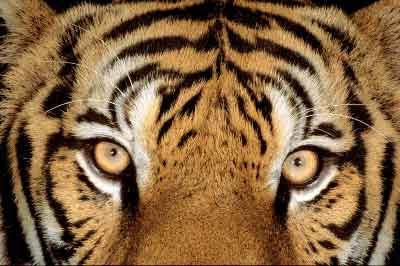 De los Principios del tigre, Francisco Acuyo