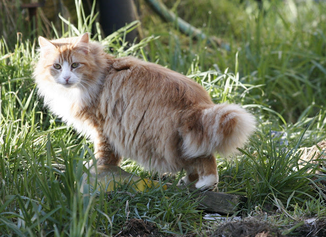 fluffy orange tom cat feather duster tail