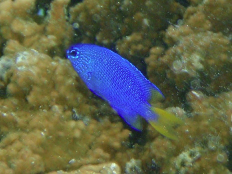 Pomacentrus pavo (Peacock Damselfish), Aitutaki