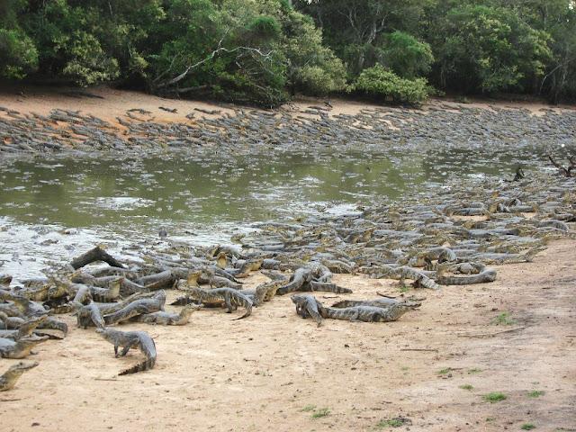 Questões e Fatos sobre Crocodilianos gigantes: Transferência de debate da comunidade Conflitos Selvagens.  - Página 3 VWbxZ