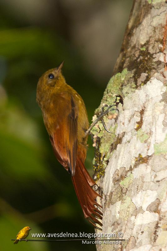 Tarefero (Olivaceous Woodcreeper)