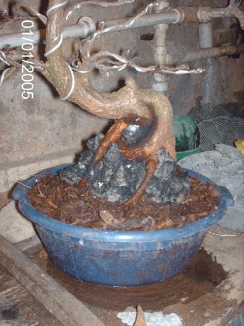 Ficus Nerifolia, Uma raiz de 3 anos... PICT1050