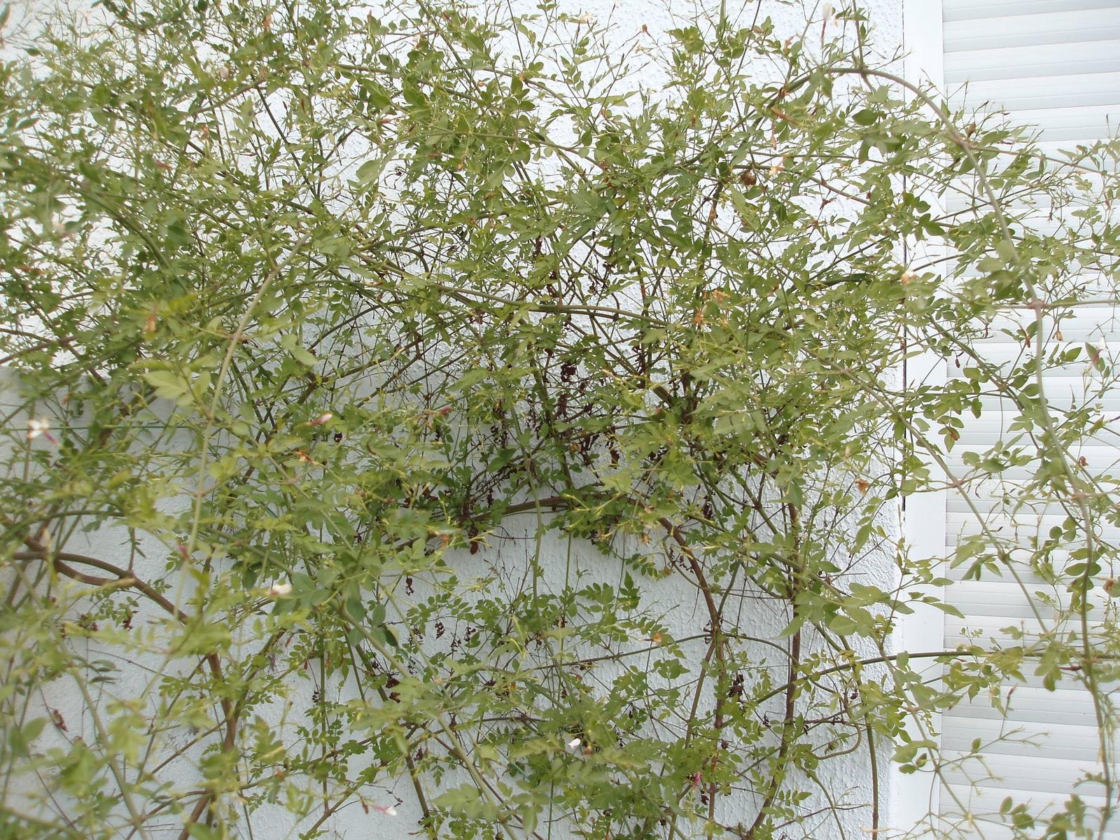 T blog de jardiner a en tarragona o catalu a el jazmin for Jazmin planta precio