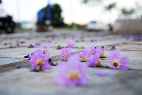 Ảnh hoa bằng lăng tím rơi rụng