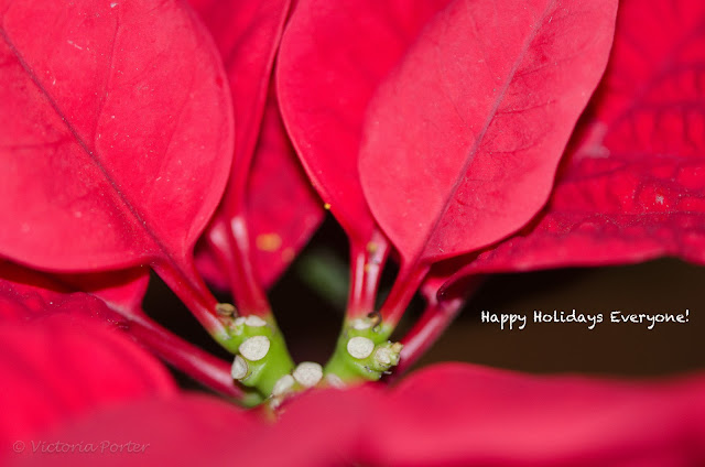poinsettia with Happy Holiday greeting