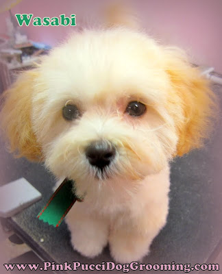 Wasabi the Maltipoo Grooming Example