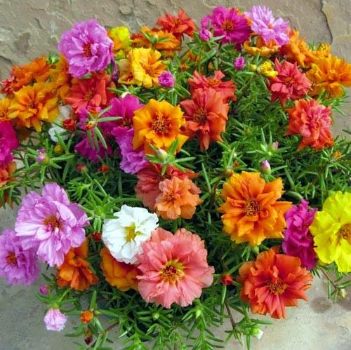 Hạt giống hoa mười giờ rũ