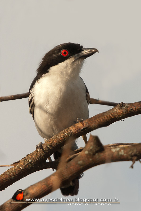 Chororó (Great antshrike)