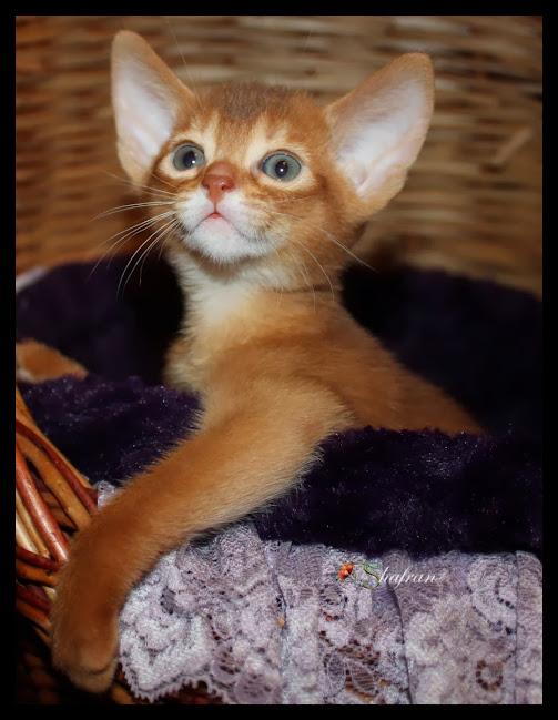 Абиссинский котенок Shafran Ineri