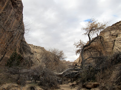 Giant cottonwood tree fallen across the canyon