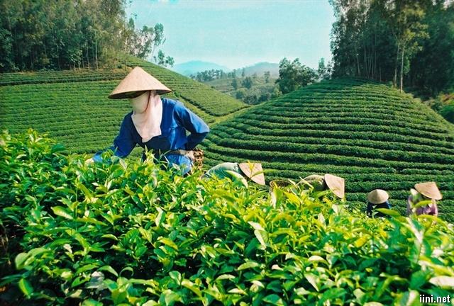 Chè xanh Phú Thọ