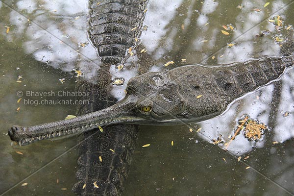 Snout and head of a Gharial [Scientific Name: Gavialis Gangeticus, Hindi Name: घऱियाल] AKA Indian Gavial, Indian Crocodile, Indian Croc