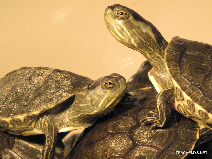 mes tortues (BK) - Page 12 IMG_4064