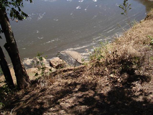 Questões e Fatos sobre Crocodilianos gigantes: Transferência de debate da comunidade Conflitos Selvagens.  - Página 2 2429750900066716175CsuaCY_ph